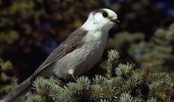 Gray Jay perched in spruce boughs.