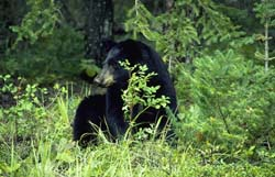 Adult black bear sitting in forest.
