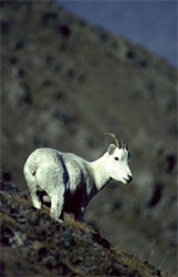 Dall sheep, Ovis dalli