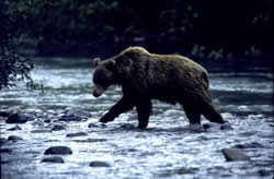 Grizzly bear crossing a stream