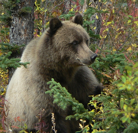 Grizzly in berry patch