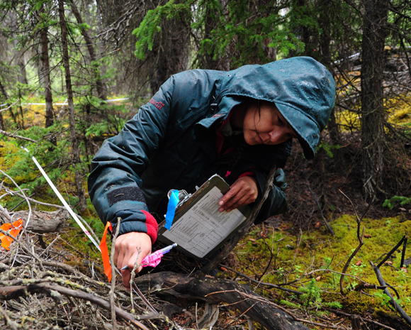 Park scientist at work monitoring the response of the boreal forest to the spruce bark beetle outbreak