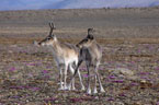 A pair of Peary caribou look out over the tundra landscape. © M. Manseau, Parks Canada