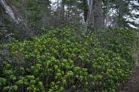 Daphne laureola (spurge-laurel), an invasive species