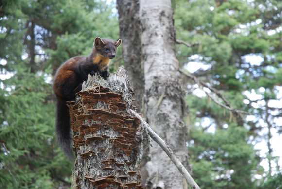 The marten is one of only fourteen native land mammals found on the Island of Newfoundland.