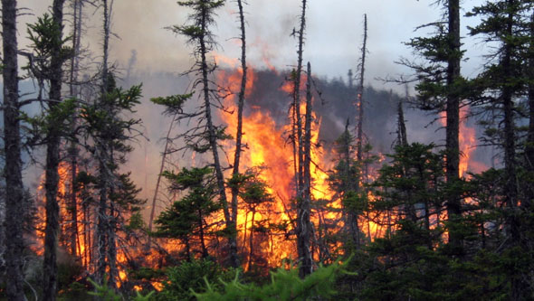 The black spruce is dependent on fire for its regeneration.