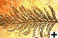 Picture of a fossilized fern the Archaeopteris halliana.