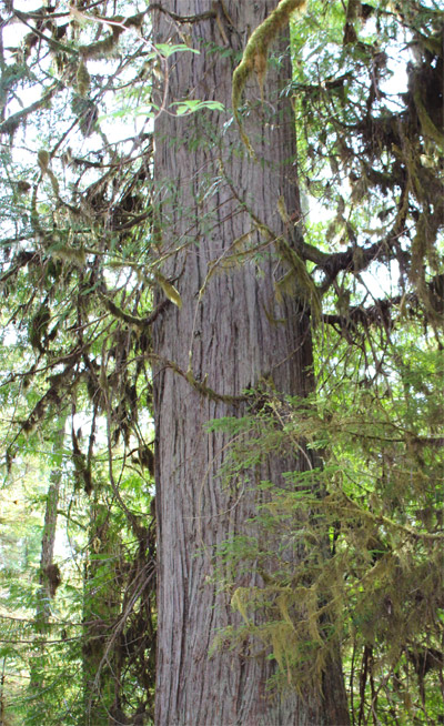 The carver chose this monumental red cedar from the ancient forests of Haida Gwaii