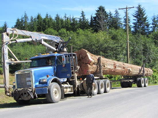 The tree was trucked from the forest into Skidegate