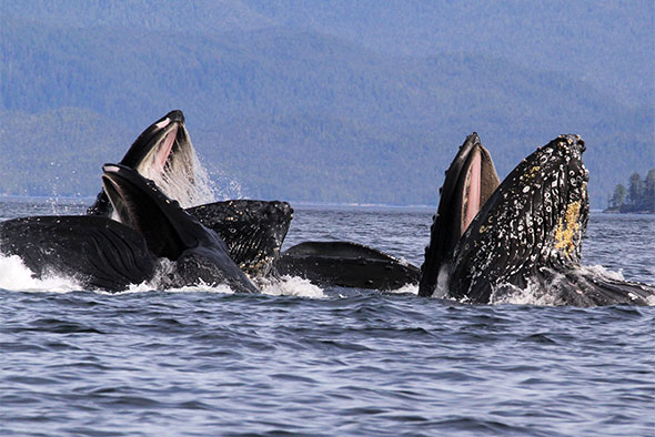 A group of humpback whales are seen breaking the surface as they feed