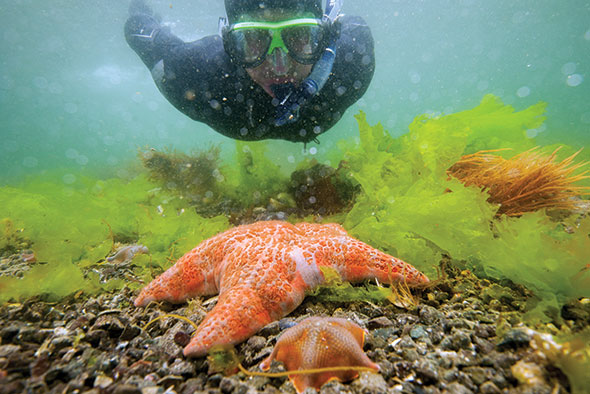 A snorkeler swims towards an orange and white seastar