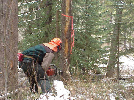 photo shows worker with chainsaw cutting down a pine tree colonized by mountain pine beetle