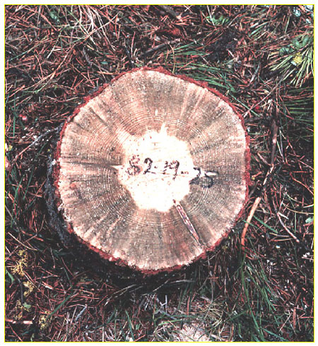 A photograph showing a tree stump infected with blue stain fungi. The fungi is bluish-black and appears as a thick circle from the bark, through the tree rings toward the inside of the tree.