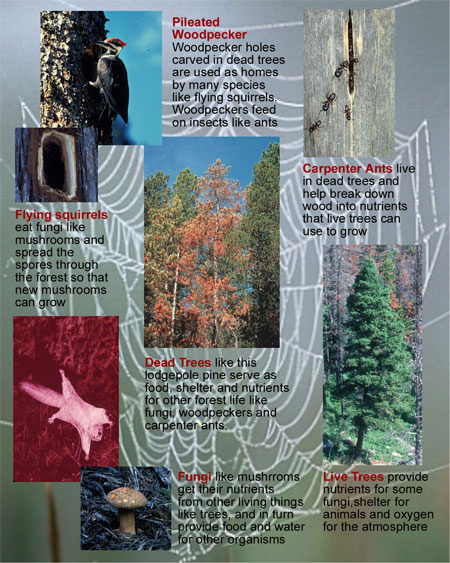 "The relationship between producers, consumers and decomposers is often depicted as a ""food web"". A healthy forest has many food webs, including important webs created by dead trees."