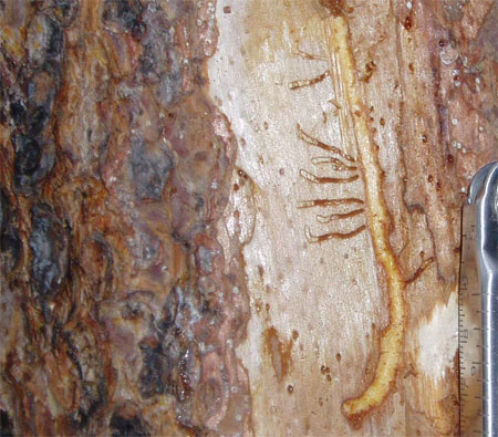 photo shows a j-shaped gallery carved in the inner bark of a pine tree.