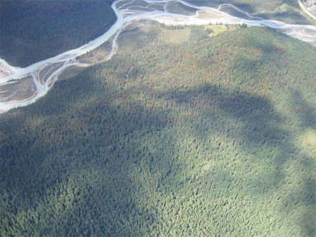 Aerial photo showing patches of red trees killed by mountain pine beetle adjacent to a river.