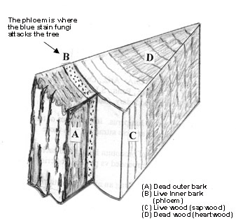 a diagram of a tree wedge showing the dead outer bark, the live inner bark (or phloem), the live wood (or sapwood) and dead wood (or heartwood)