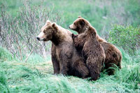 Picture of a female grizzly bear and her cub