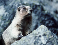 Picture of a Hoary marmot on a rock