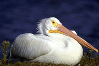 Picture of an American White Pelican sitting