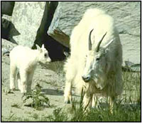 Moutain Goats