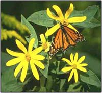 Monarch Butterfly, Point Pelee National Park