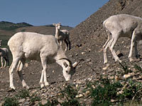 Image of Dall's Sheep