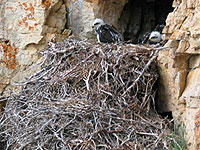 Golden eagle nest at Cache Lake.