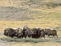 A herd of muskoxen on Banks Island.