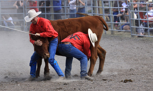 Wild cow milking at the Old Time Ranch Rodeo