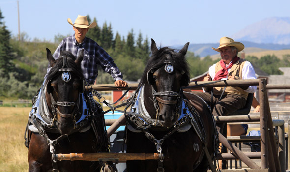 Bar U Ranch draft horse team