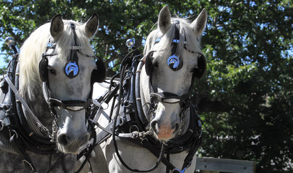 Les percherons Licorice et Smudge