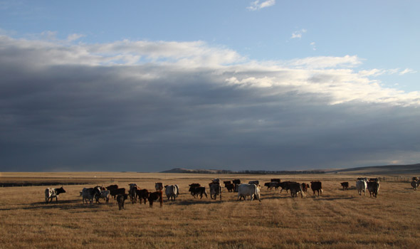 Bar U Ranch cattle in the fall