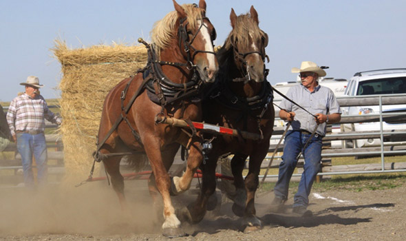 Heavy horse pull at the Chore Horse Competition