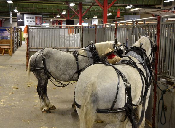 Licorice and Smudge, the Bar U Ranch Percherons, get ready for the parade