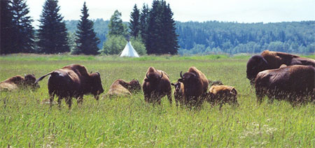 Plains bison at Rocky Mountain House National Historic Site.