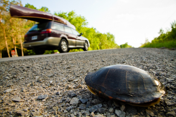 Turtle on the side of the road