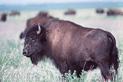 Wood Bison standing in Wood Buffalo National Park of Canada