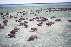 Herd of Wood Bison in Wood Buffalo National Park of Canada.