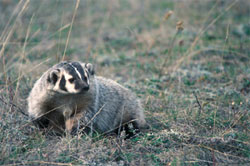 American Badger in Waterton Lakes National Park of Canada