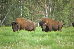 Two Wood Bison in Wood Buffalo national Park of Canada.