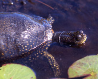 A Blanding's turtle swimming through lily pads