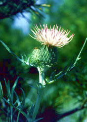 A close-up of Pitcher's thistle flowers.