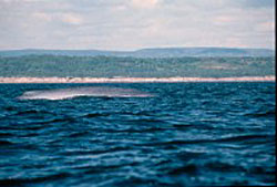 View of the back of a Blue whale.