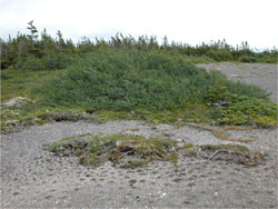 Typical vegetation of limestone barrens: stunted trees sculpted by the wind and small plants growing close to the ground.  Extensive areas of gravel are found.