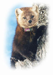 Radio-collared Newfoundland Marten.