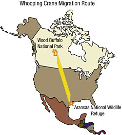 View of a map showing the migration path of Whooping cranes.
