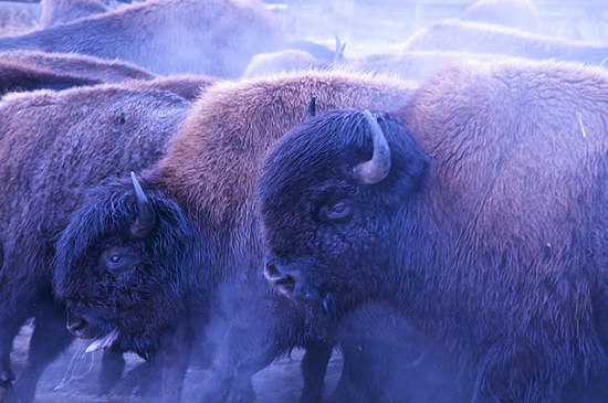 Profile view of two Wood Bison in a crowed pen.