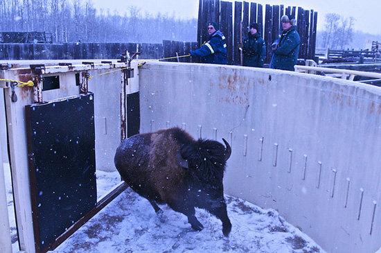 Running bison following a curved wall with snow falling.