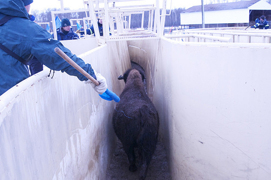 A bison in running down a narrow metal passageway with a person on the left holding a blue flag.